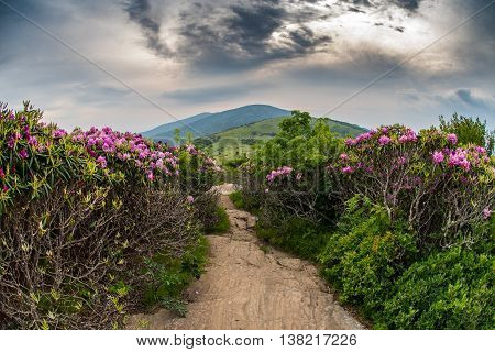 Appalachian Trail Descends Jane Bald Through Rhododendron bloom in June