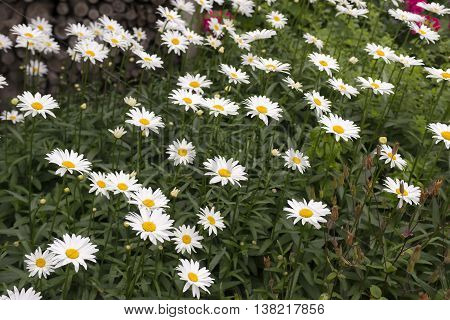 Oxeye Daisy (Leucanthemum vulgare) growing in a Garden in a Flowerbed