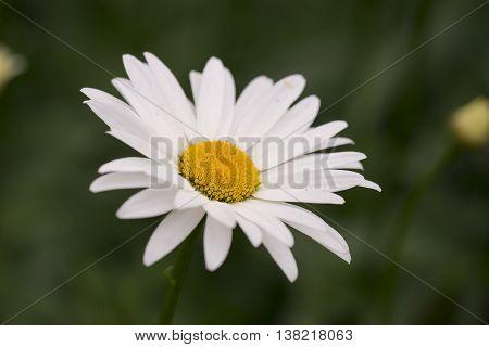 Oxeye Daisy (Leucanthemum vulgare) one flower flowering in a Garden