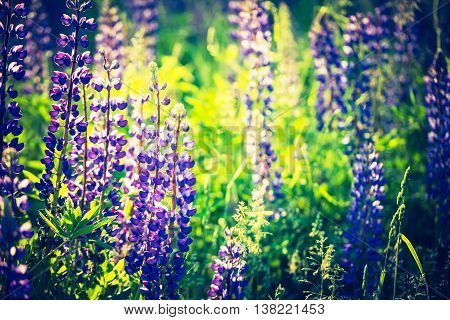 Vintage Photo Of Lupine Flowers