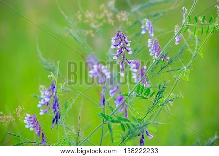 wild summer flowers on meadow - soft focus photo
