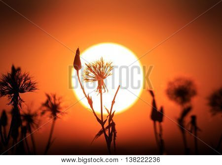 dry flowers silhouettes on sunset background