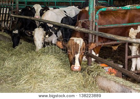 holstein cows in the barn eating hay