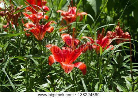 vibrant Red Lily perennial flower in the garden