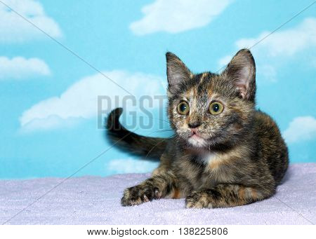tortoiseshell torbie tabby kitten laying on a purple blanket blue background with cloud pattern. The tortie pattern is only present in female tabby cats a recessive trait.