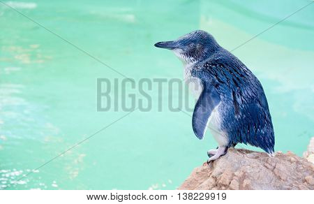 ROCKINGHAM,WA,AUSTRALIA-JUNE 3,2016: Little Blue Penguin standing in profile by water tank at Penguin Island conservation area in Rockingham, Western Australia.