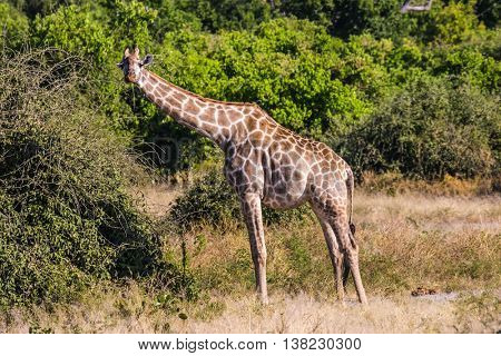 Animals in South Africa. The famous Kruger National Park. Giraffes feeding eating around the treetops