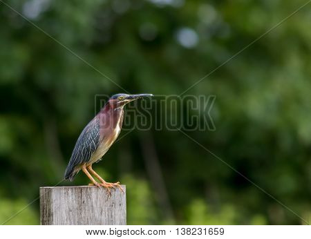 Green Heron (Butorides virescens) perched on a wooden post at Wallkill National Wildlife Refuge, New Jersey