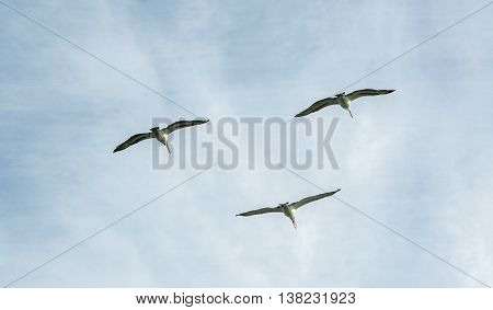 Three large nesting pelicans in flight over Penguin Island with a cloudy sky in Rockingham, Western Australia.