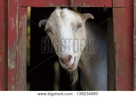 Goat inside the red barn at a farm