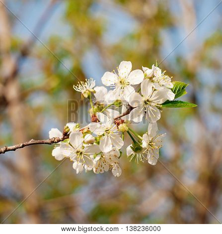 Flowers of the cherry blossoms on a spring