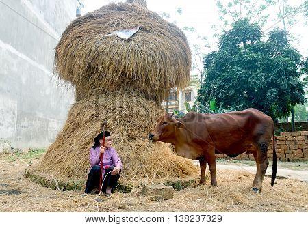 HA NOI, VIET NAM, January 14, 2016 woman, raising cows, haystacks area, Duong Lam rural, suburban Ha Noi