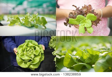 Close up of hydroponic vegetables in shallow depth of field to show the beautiful leaves and shapes presenting in set