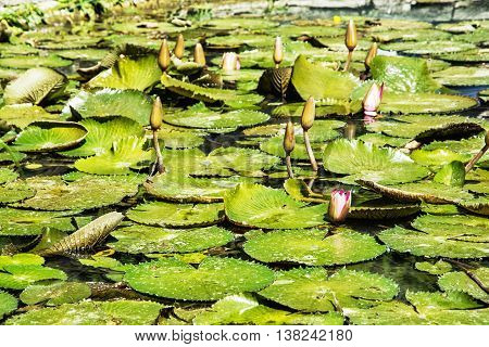 Beautiful water lilies - Nymphaeaceae - in the garden pond. Seasonal natural background. Beauty in nature.