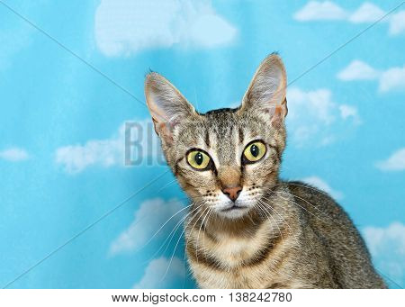 portrait of a gray and white tabby kitten looking forward on blue background with white clouds. Copy space
