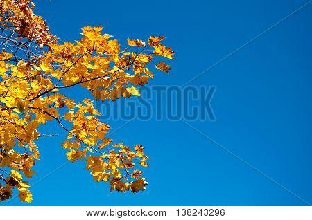 Autumn Maple Leaves Blue Yellow Orange Sky 9