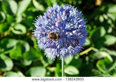 little bumble bee on a purple flower