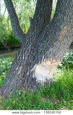 the beavers gnawed trees