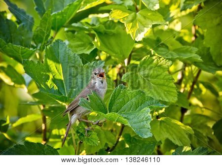 Spotted Flycatcher Muscicapa striata . Wild bird in a currant bush. Russia Siberia