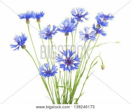 Cornflower. Bouquet of wild blue flowers. Isolated