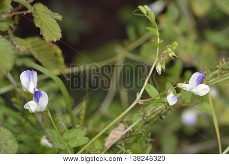 Cyprus Vetch - Vicia cypria Endemic plant from Cyprus