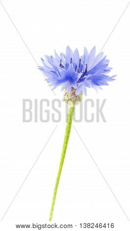 one blue cornflower close-up isolated on white background