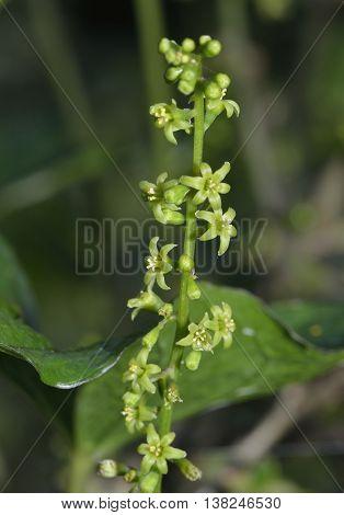 Black Bryony Flowers - Tamus communis Climbing Hedgerow Plant
