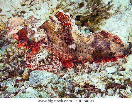 Scorpion Fish in Hurghada
