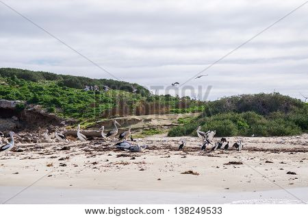 Large group of black and white nesting pelicans and pied cormorants on a sandy beach on a small, vegetated remote island in Rockingham, Western Australia.