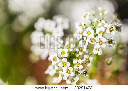 The nature background with little white flowers. Soft focus