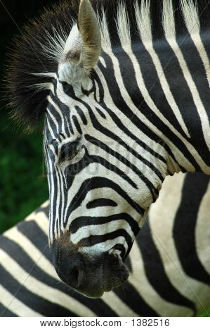 Zebra Head Profile