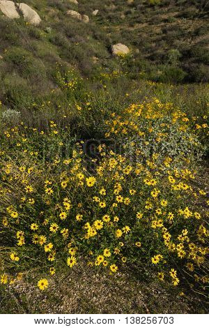 Yellow Daisy Cluster