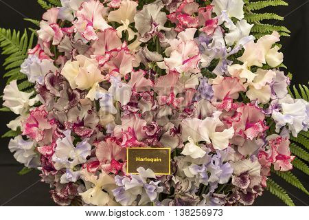 Colorful & Fragrant Harlequin Sweet Pea Flowers