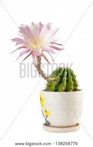Flowering Cactus In A Ceramic Pot. Isolated On White Background