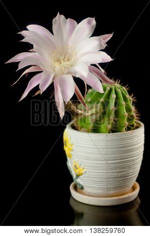Flowering Cactus In A Ceramic Pot On A Black Background