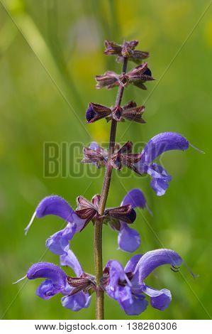 Macro of bloom from meadow sage (Salvia pratensis)