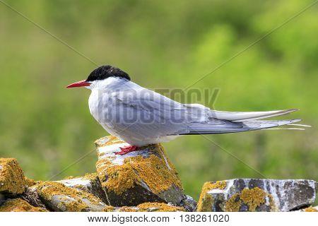 Arctic tern Farne Islands Nature Reserve England
