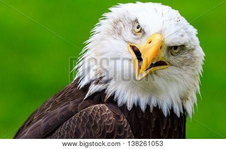 A Bald eagle (Haliaeetus leucocephalus) Close up