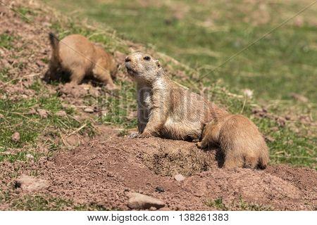 A Black-Tailed Prairie marmot (Cynomys Ludovicianus) close-up