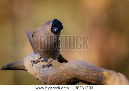 A Bullfinch (Pyrrhula-pyrrhula) perched on a branch