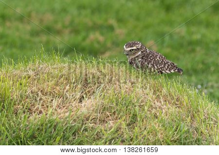 Burrowing owl (Athene cunicularia) on the ground