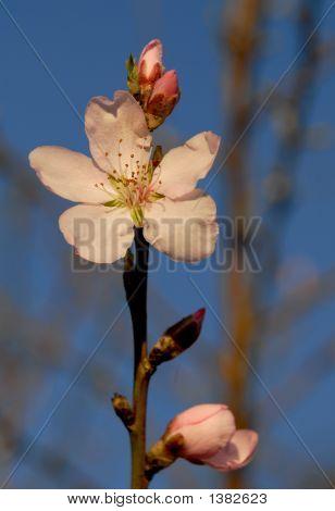 Spring Peach Flower