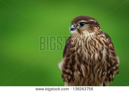 A Merlin (Falco columbarius) on a perch
