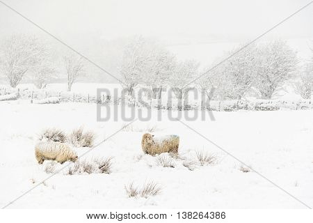 Sheep in a cold white winter Yorkshire landscape
