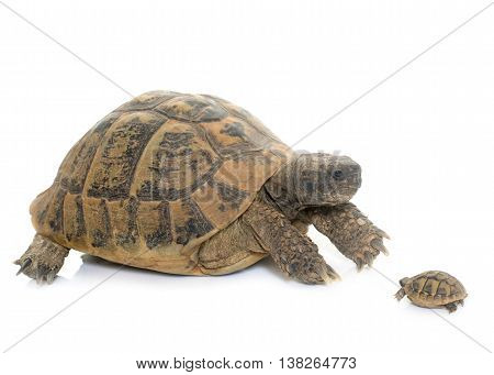 Hermanns Tortoise and baby turtle in studio