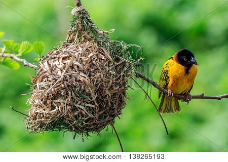 Village Weaver (Ploceus cucullatus) perched on a branch with nest