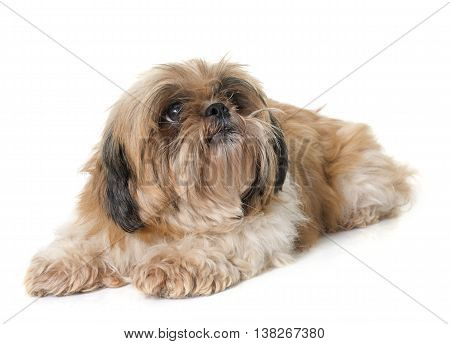 shih tzu dog in front of white background