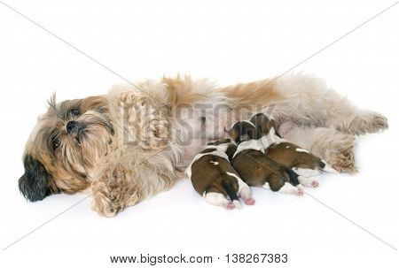 shih tzu dog and puppies in front of white background