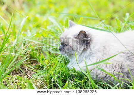 Beautiful Grey Neva Masquerade Cat