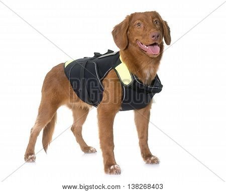 Nova Scotia Duck Tolling Retriever and rescue jacket in front of white background